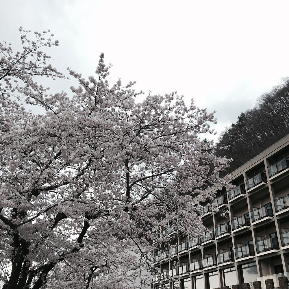 Japan - Tokyo - Sakura City - Lake Kawaguchiko Cherry Blossom
