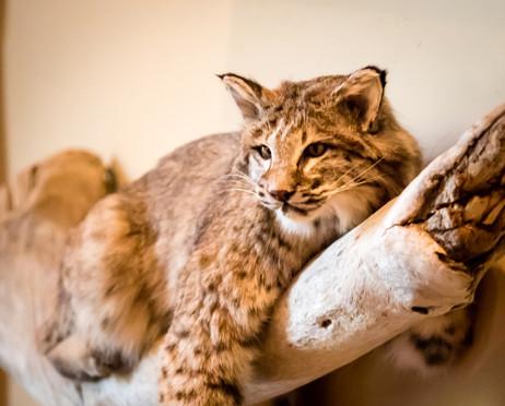 Bobcat_ByRiyan.jpg