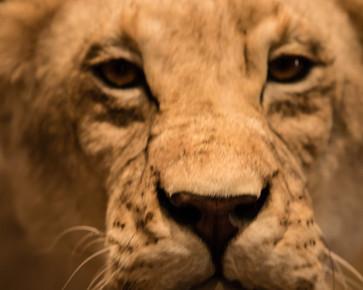 Lion_ByRiyan.jpg