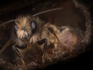 The Solitary Bees, UK