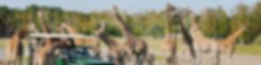 safaripark-giraffen-gamedrive-savanne-be