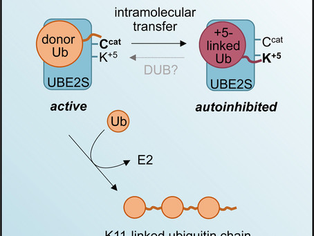 Autoinhibition Mechanism of the Ubiquitin-Conjugating Enzyme UBE2S by Autoubiquitination.