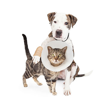 Dog with injured paw around a cat wearin