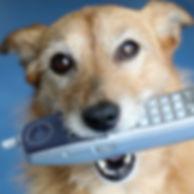 Cute scruffy terrier dog holding a phone