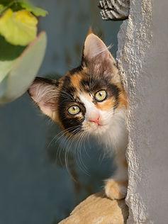 Curious cat kitten, tricolor calico patc