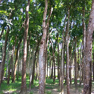 Mahogany_trees_in_Bangladesh_edited.jpg
