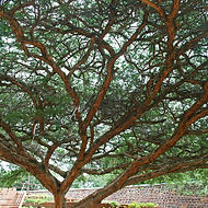 large-acacia-tree_edited.jpg