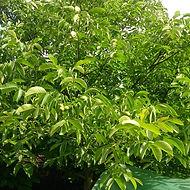 garden-tree-walnut-walnut-tree-1917484_e