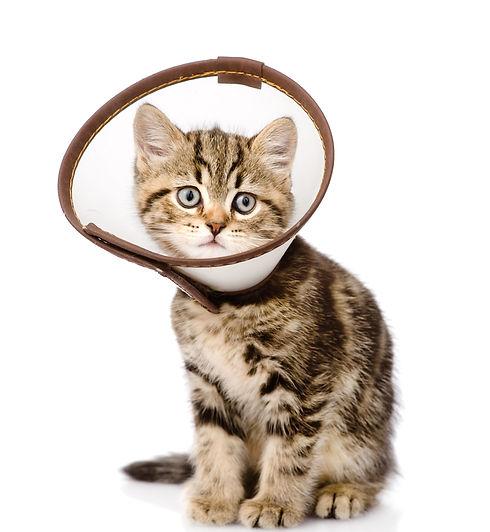 scottish kitten wearing a funnel collar.