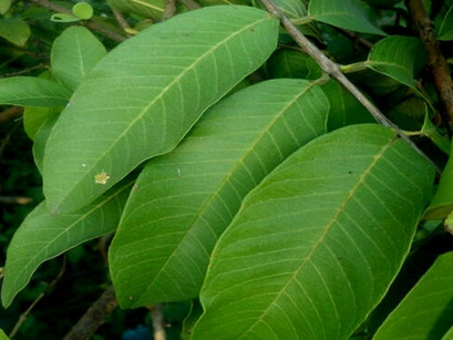 바나바잎 추출물 효능 효과 셀크롬비 건강기능식품 추천