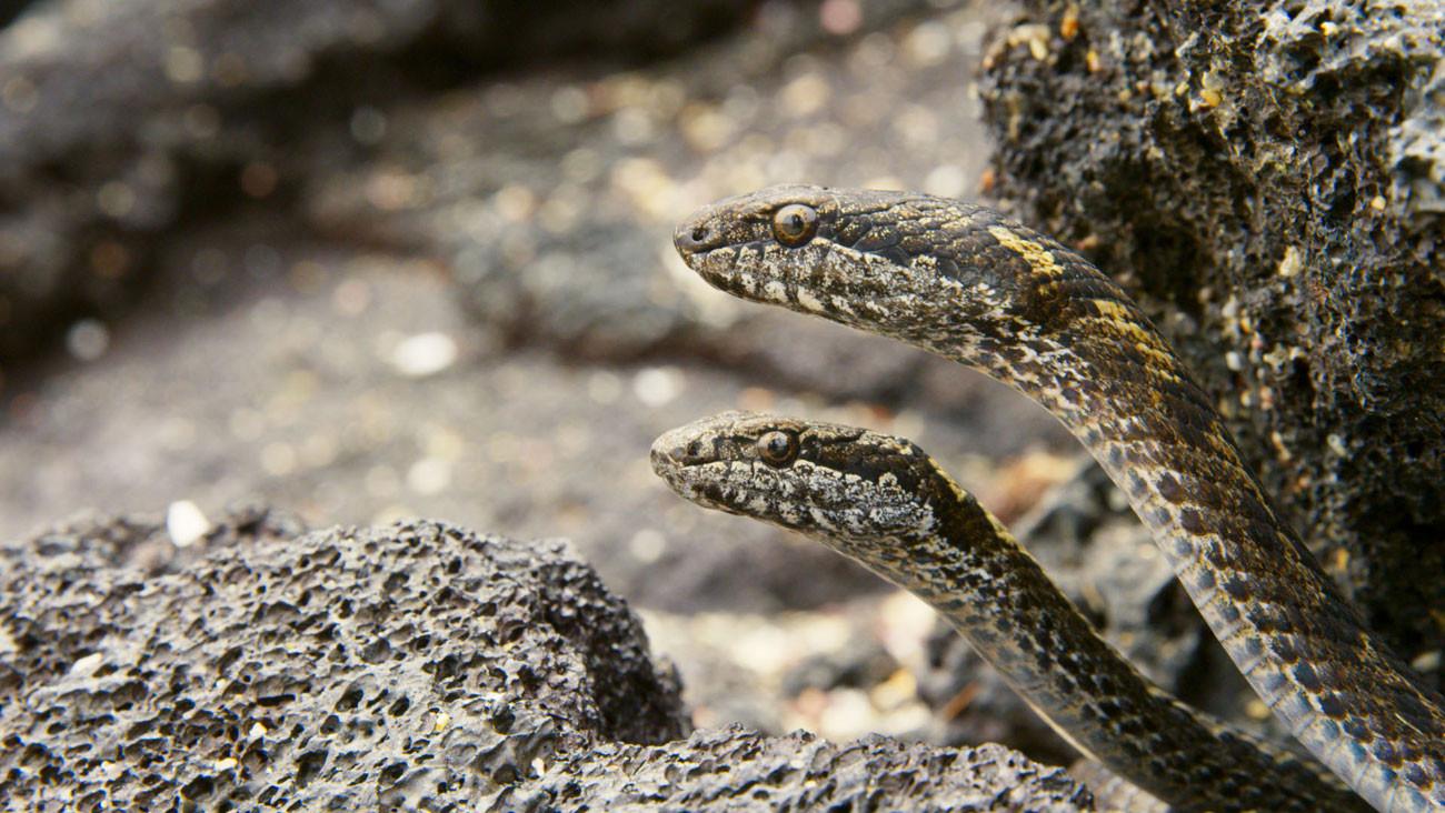 PLANET EARTH II - Iguana Vs Snake