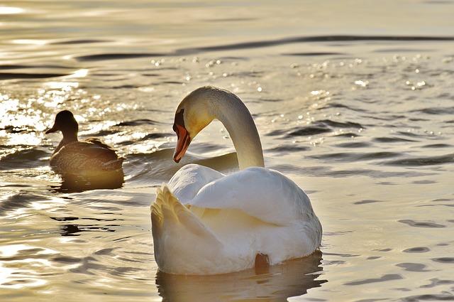 swan-1114270_640