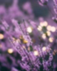 lavenders_edited.jpg