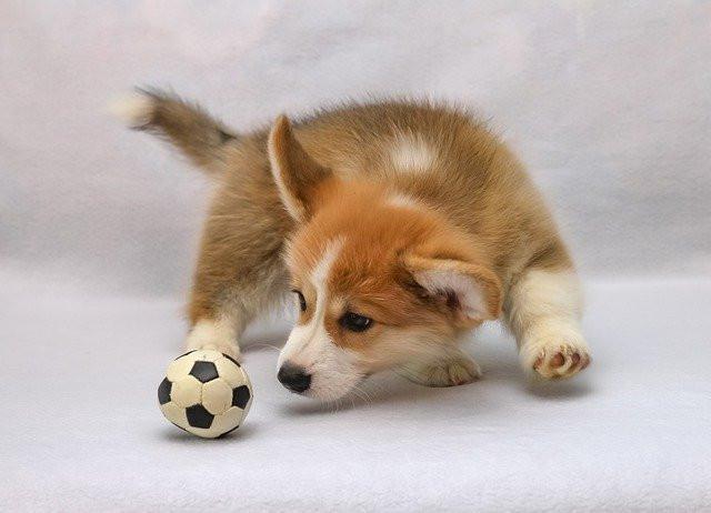 a corgi puppy with a ball
