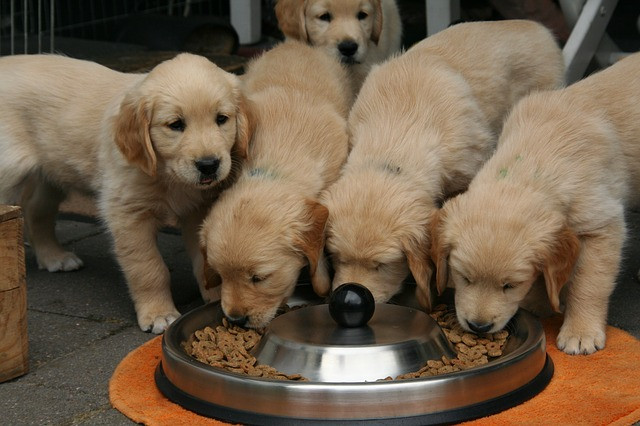 golden retriever puppies eating from a bowl