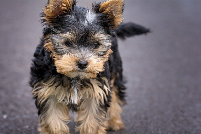 a yorkshire terrier puppy