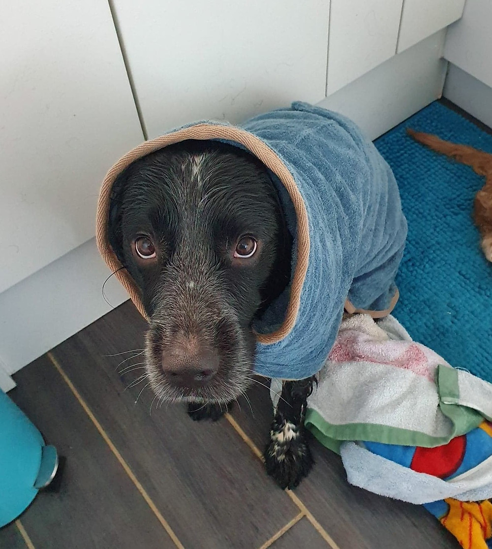 spaniel in a drying coat