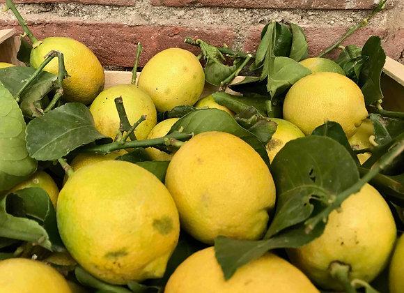 Citron du pays de Nice x 2/3 - env. 350g - 577km
