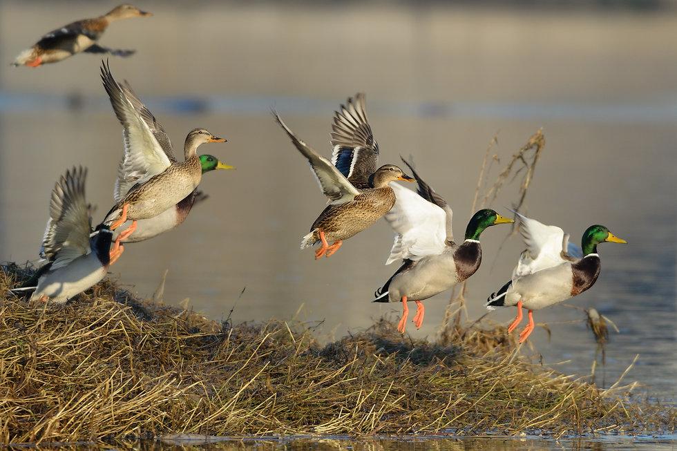 mallard ducks taking off.jpg