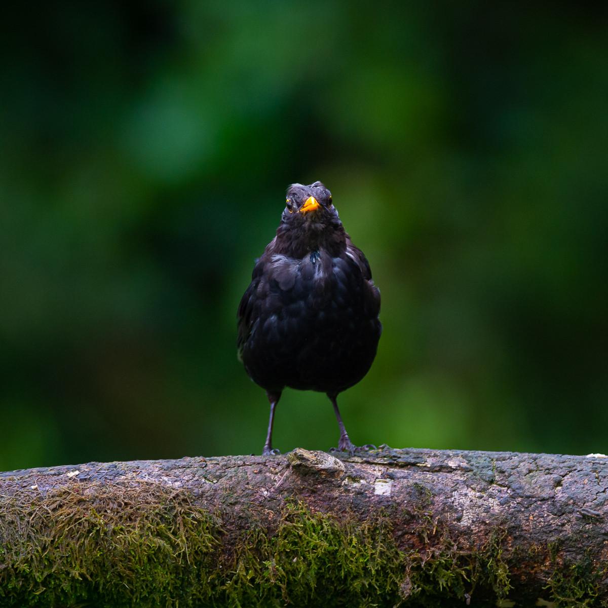 'Blackbird' by Nigel Snell (8 marks)  -  Bangor & North Down Camera Club