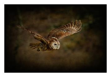 'Tawny Owl In Flight' by Nigel Snell ( 12 marks )