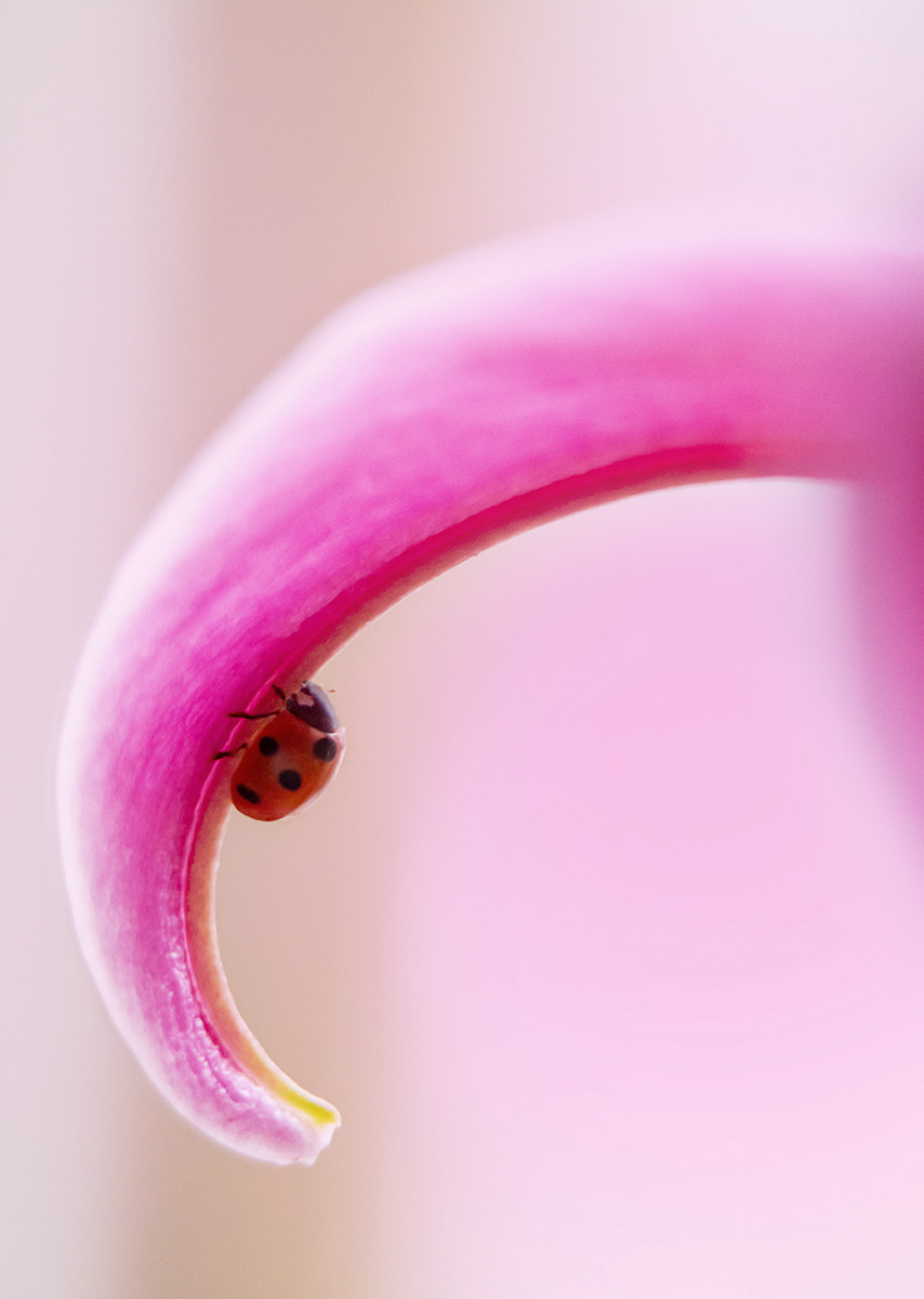 'Undercover Ladybird' by Alan Field (10 marks)  -  Bangor & North Down Camera Club
