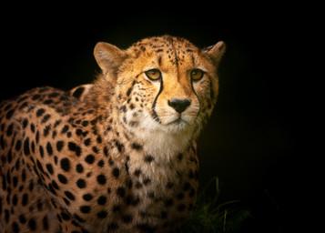 'Cheetah' by Nigel Snell ( 15 marks )