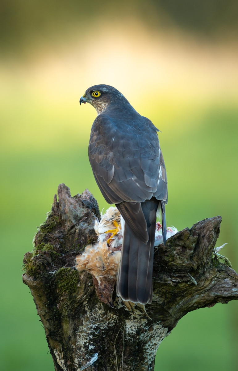 COLOUR - Sparrowhawk by Nigel Snell (13 marks) - Starred
