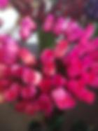 rose bud pink purple tips.jpg