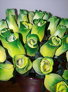 Rose bud _ YELLOW GREEN TIPS