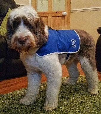 Parti Austrlian Labradoodle therapy dog