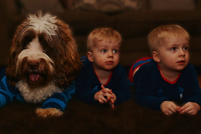 Australian Labradoodle Therapy dog