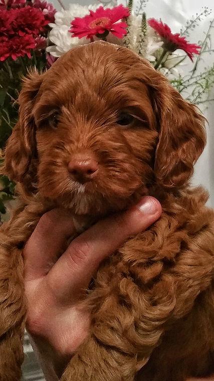 Ottie Puppy.jpg