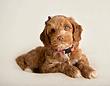 Puppy Australian Labradoodle