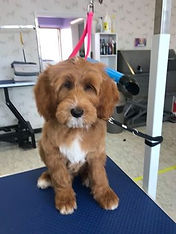 Red Australian Labradoodle after a groom