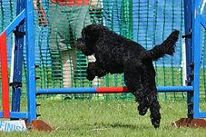 Australian Labradoodles uk doing agility