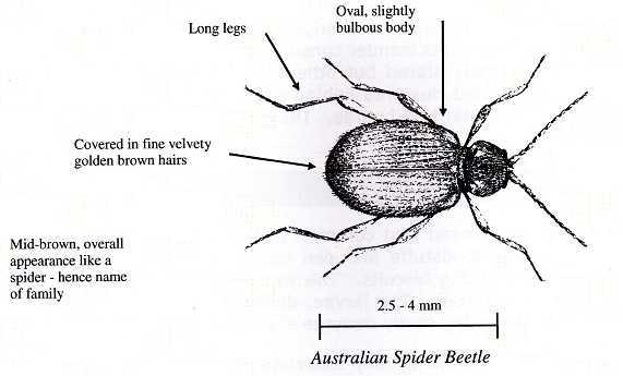 Australian Spider Beetle