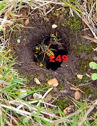 Treat a wasp nest in the ground