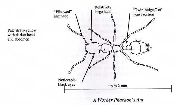 Pharaoh's Ant