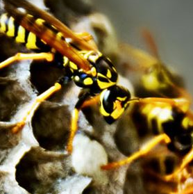 New Active Wasp Nests
