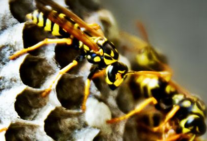 6 weeks on since a queen wasp had laid her first eggs in the new nest the first lot of wasp workers emerge. These wasps are infertile female wasps who take on the task of enlarging construction of the nest and protecting it from potential predators (including you and me) as well as feeding its fast growing juvenile population of wasp larvae. It starts looking busier outside the nest with increasing traffic of wasps flying in both directions, in and out of the nest, indicating its location. The material wasps make their nest of is wood that mixed with wasp saliva is turned by them into a paper-like mash. The main food supply of a growing wasp nest are other insect and invertebrates.