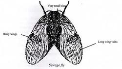 Sewage Fly
