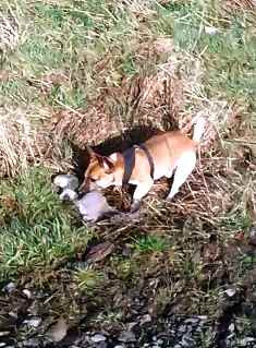 CZECHMATE's ratting dog, Jack Russell Terrier (Brok has caught another vermin in this picture - large Grey Squirrel)
