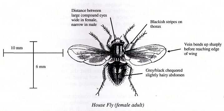 Common House Fly & Lesser House Fly