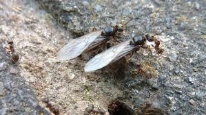 Flying ants - a form of Black Garden Ant. Ant control service of Czechmate Pest Control is available in Ayr, Irvine, Kilmarnock, Paisley, Greenock, Kirkintilloch, Airdrie, Glasgow City, Barrhead and surrounding areas across the West of Scotland