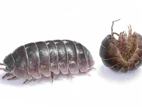 Woodlice (Slaters)