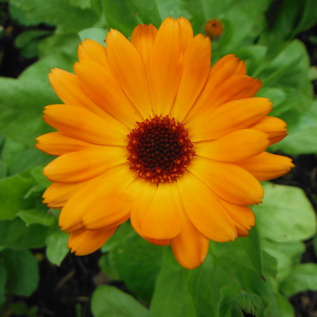 Marvellous Marigold + How to Use It