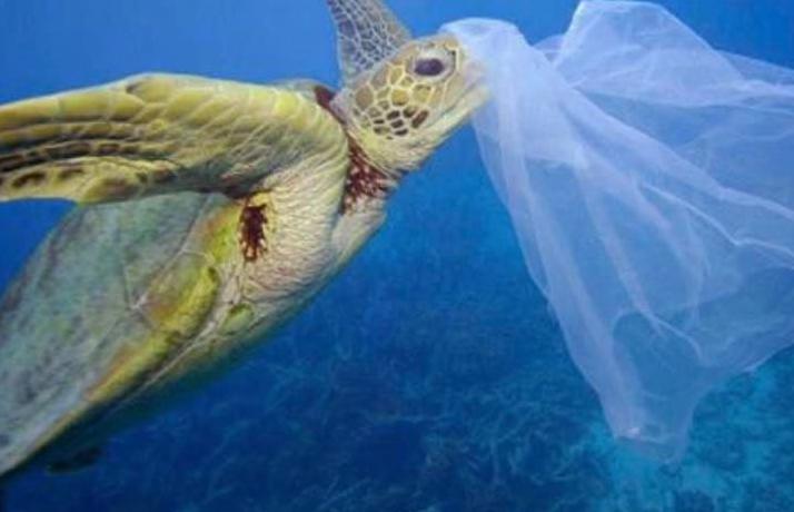 Green turtle eating netting