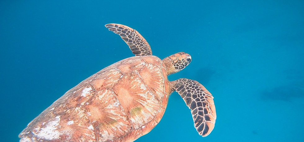 The largest hardshell turtles in the wor