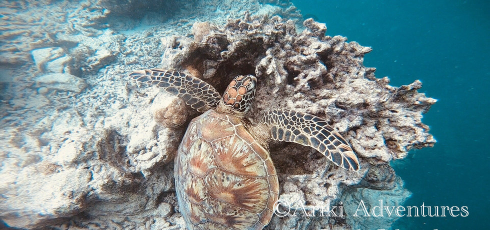 Pacific Green Sea Turtle at rest